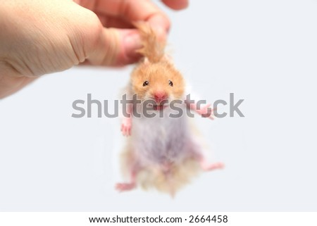 Hamster held between fingers by nap of the neck