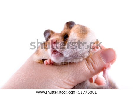Hamster in hand isolated on a white background