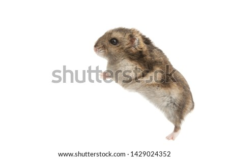 hamster isolated on white background #1429024352