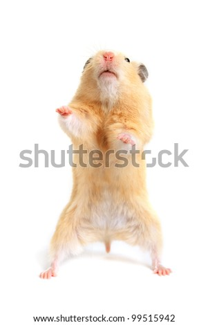 Hamster isolated on white background