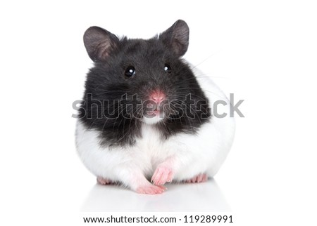 Hamster on white background. Close-up portrait