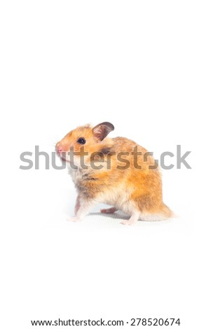hamster on whtte background. #278520674