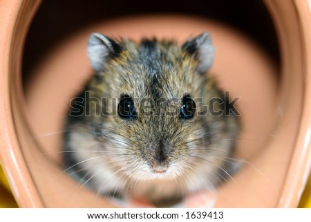 hamster over white (homogeneous)
