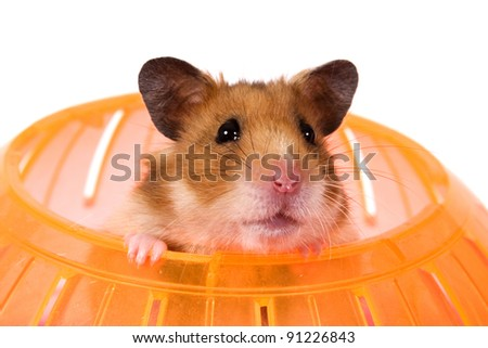 Hamster Popping his Head out of a Ball / This is a Brown Hamster pooping his head out of an orange Ball. White backdrop is perfect for adding to an advertisement.