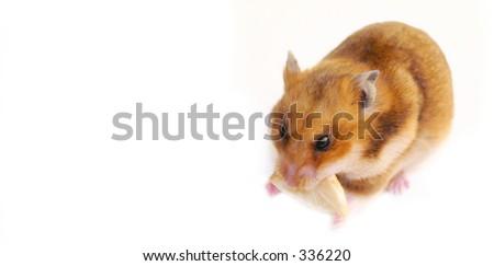 hamster que enche o bolinho em seus mordentes - stock photo