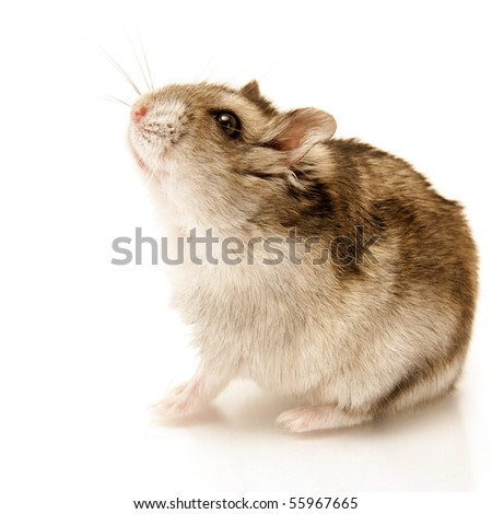 hamster sitting isolated on white