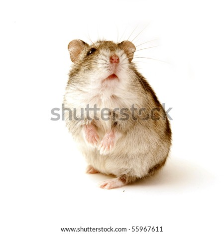 hamster standing isolated on white