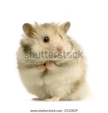 Hamster standing up in front of a white background