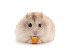 Hamster that eats isolated on a white background.