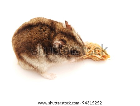 Hamster with a bread slice on a white background