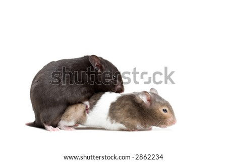 ... electrical hamsters for sale / cute pictures of short hair hamsters