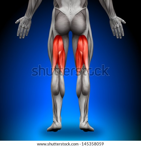 Hamstrings Anatomy Muscles