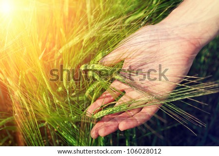 hand and ripe wheat ears on the field in warm sunlight