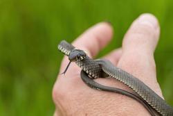hand catched harmless small snake, grass snake, Natrix natrix, european wildlife, Czech Republic