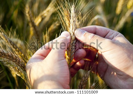hand checking rye seeds in nature