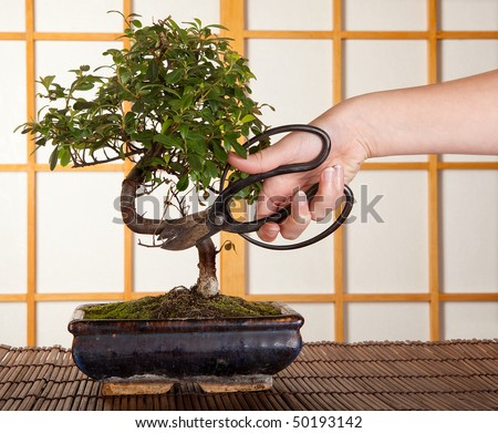 Hand cutting a bonsai tree in front of a japanese shoji sliding window