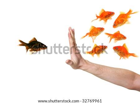 hand discriminating black goldfish isolated on withe
