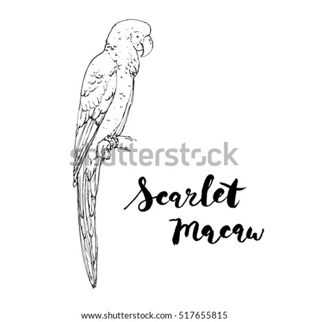 hand drawn graphic isolated bird Scarlet Macaw with handwritten words lettering on white background #517655815