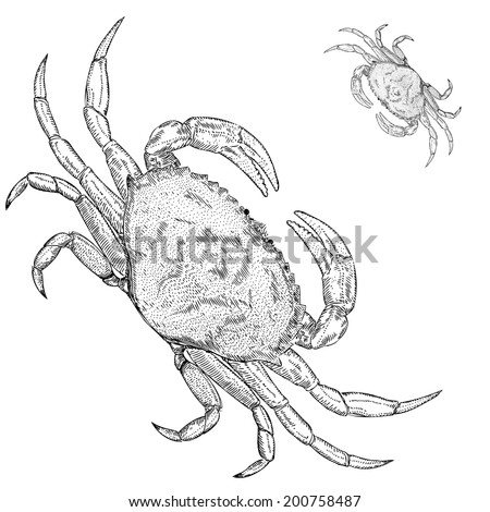 Hand Drawn Illustration of a Dungeness Crab