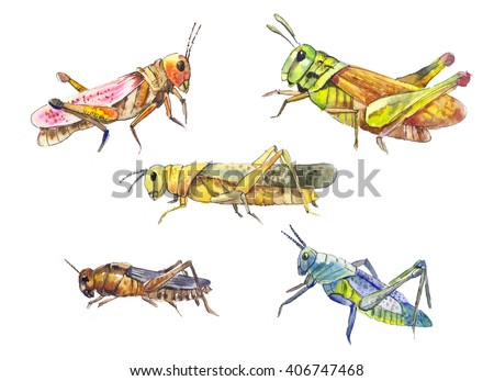 Hand drawn locust isolated on white. Set of insects watercolor drawing.