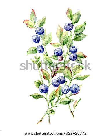 hand drawn watercolor botanical illustration of blueberry