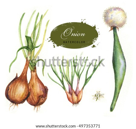 Hand drawn watercolor illustration of orange and green onion isolated on the white background.  Botanical onion drawing. Allium cepa