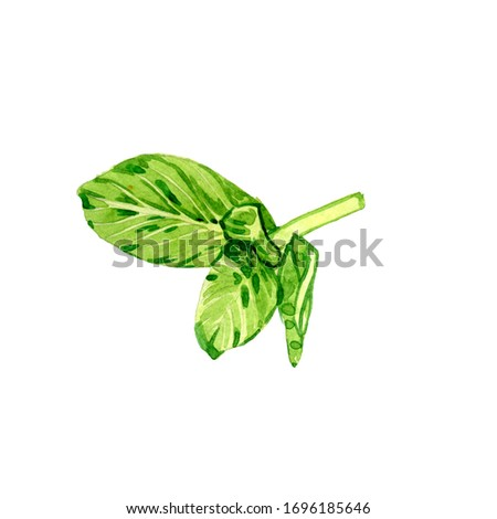 hand drawn watercolor leaf of mint on a white background