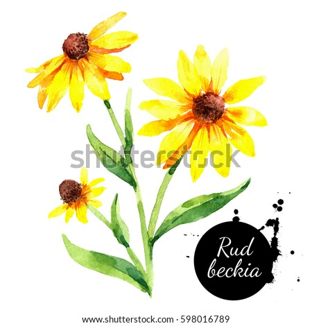 Hand drawn watercolor rudbeckia floral illustration. Black eyed Susan flower. Painted sketch botanical herbs isolated on white background