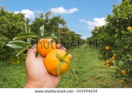 hand Farmer harvesting oranges
