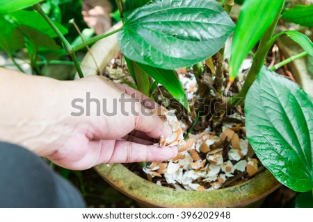 Hand feeding crushed eggs shells onto plants as natural garden organic fertilizer at home Stock photo ©