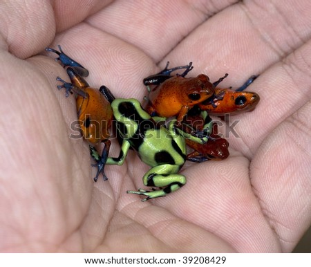hand full of colorful poisonous costa rican dart frogs - stock photo