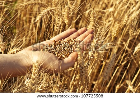 Hand full of wheat seeds, wheat ears background. You may also check my wheat set.