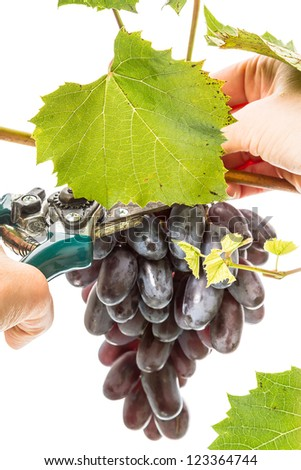 Hand gathering ripe dark grapes. Isolated on white background