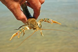 Hand-Held Crayfish Shows Claws (Parastacoidea)