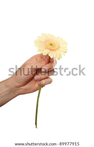 hand hold a gerbera flower isolated on white background