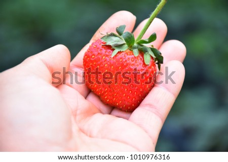 Hand holding a big fresh strawberry in the green farm background. A woman's hand shows a large ripe strawberry gathered from the home garden. Thai strawberry. #1010976316