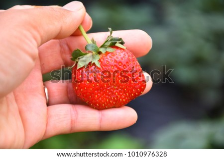Hand holding a big fresh strawberry in the green farm background. A woman's hand shows a large ripe strawberry gathered from the home garden. Thai strawberry. #1010976328