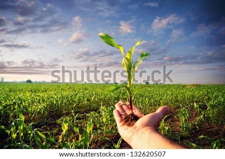 Hand holding a corn plant / corn plant