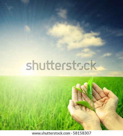 hand holding a piece of green tea leaf during morning sunrise