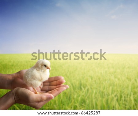 hand holding a young chick early in morning sunrise grass field