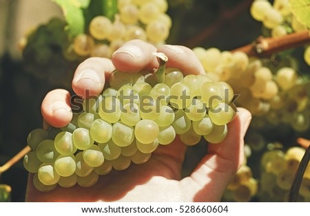 Hand holding bunch of Chardonnay wine grapes