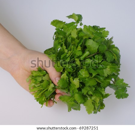 Hand holding bunch of cilantro, also called coriander or Chinese parsley, scientific name  Coriandrum sativum