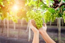 hand holding bunch of fresh green grapes hanging on a bush, Damnoen Saduk, Ratchaburi Province. Thailand