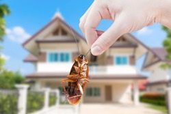 Hand holding Cockroach on house background, eliminate cockroach in house,Cockroaches as carriers of disease