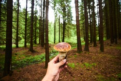 Hand holding edible mushroom boletus on background of forest