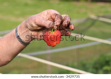 Hand holding fresh harvested strawberry
