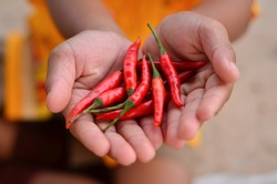 Hand holding Fresh red Chilli.Chili useful in weight control .Flu Relief.Pungency of peppers from substances known as
