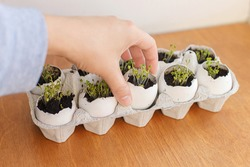 Hand holding fresh sprouts in egg shells in carton box on wooden background. Arugula, basil, watercress microgreens in eggshells with soil. Reuse. Plastic free seedling. Growing microgreens at home.
