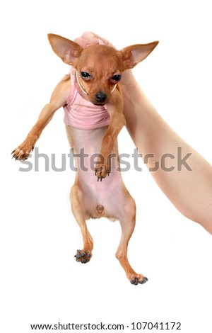 Hand holding funny chihuahua wearing pink clothes