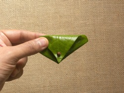 Hand holding green Betel quid or Paan